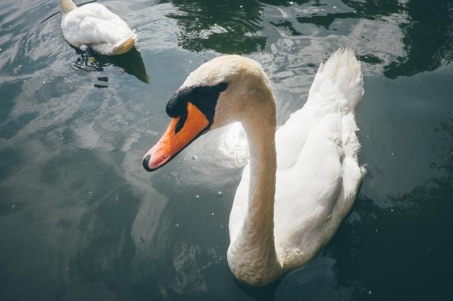 Swans at Peasholm Park, Scarborough