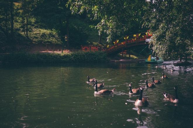 Geese at Peasholm Park, Scarborough